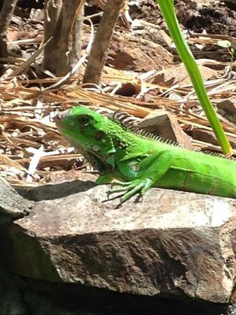 The Green Iguana Hotel: Local friends