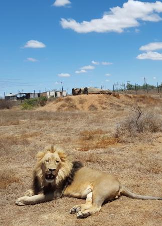Kirkwood, Νότια Αφρική: The last of the lions