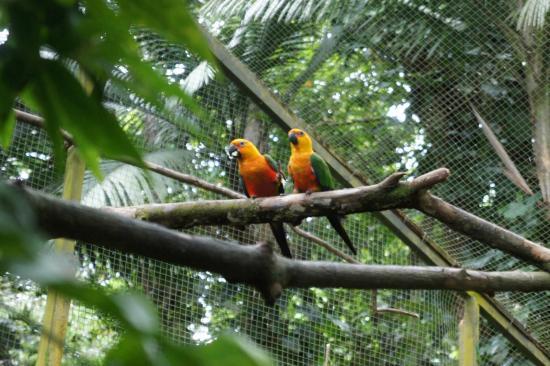 Bouillante, Guadalupe: Perroquets