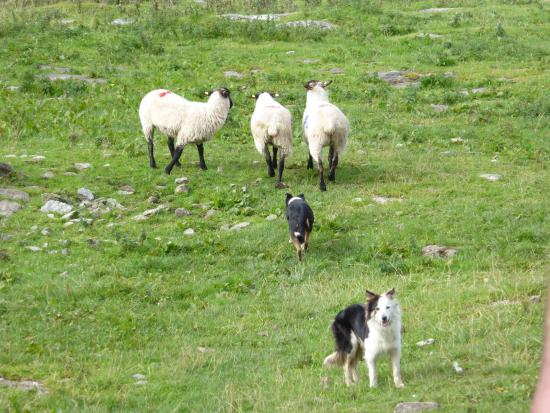 Caherconnell, Irlande : Part of the sheep dog demonstration