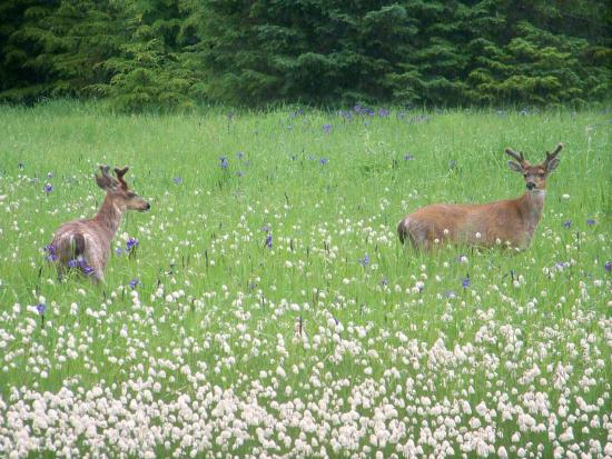 Sitka Blacktail bucks in Alaska Cotton field.