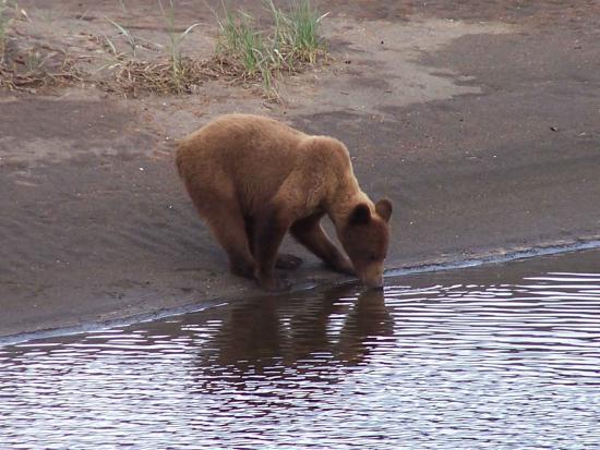 Sitka, Αλάσκα: An Alaska Coastal Brown Bear takes a drink from the Shelikof River on Kruzof Island.