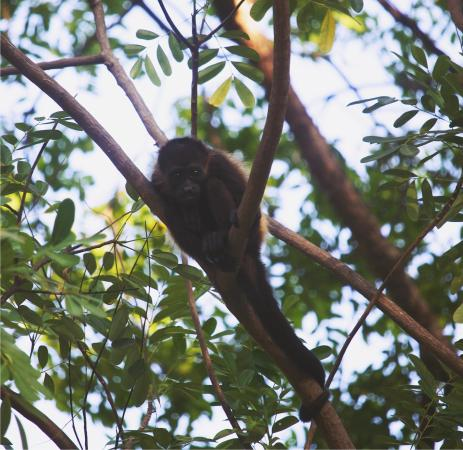 Apoyo Lodge: Baby howler monkey.