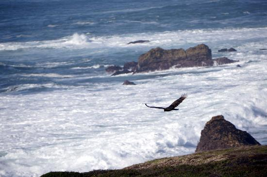 Los Osos, CA: Turkey vultures looking for prey