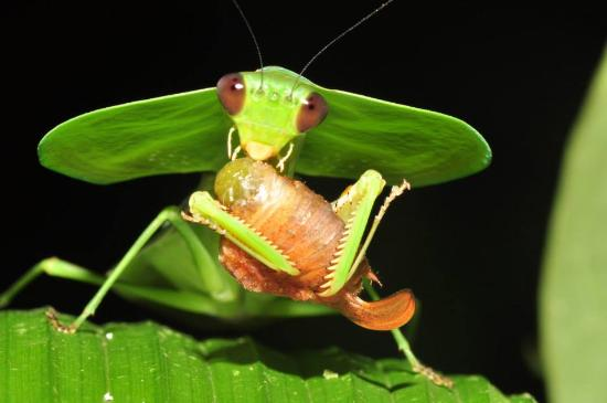 Tortuguero, Costa Rica: mantis hoja comiendo un saltamontes, caminata nocturna
