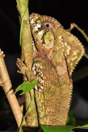 Tortuguero, Costa Rica: Perro zompopo, Caminata nocturna