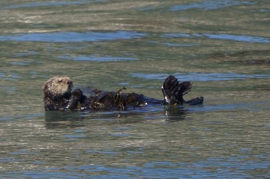 Avila Beach, Califórnia: We learned th sea otters don't have fur on their feet so they keep them outta the water when pos