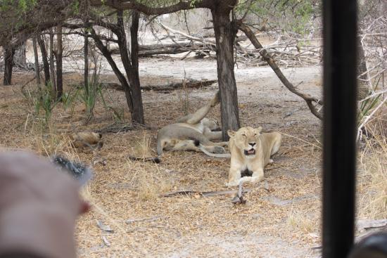 Región de Arusha, Tanzania: Familie leeuw, wel erg dichtbij...