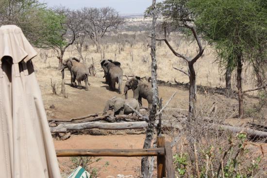Región de Arusha, Tanzania: Treetops Lodge, broodje olifant bij het ontbijt