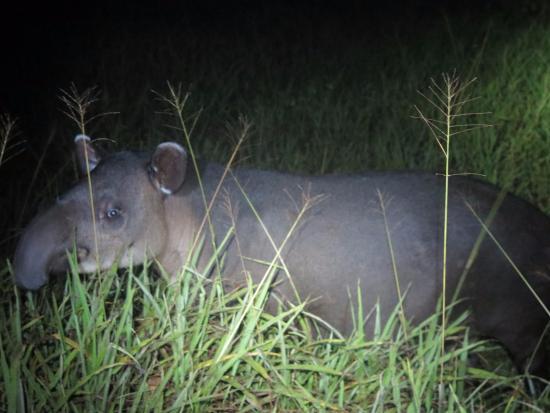 Osa Green Travel: Tapir seen at night at Sirena Station