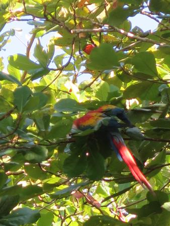 Puerto Jimenez, Kostaryka: Scarlet Macaws - plentiful and colorful in Corcovado