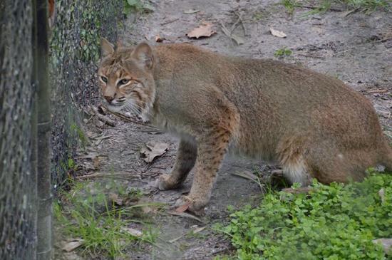Homosassa Springs, FL: Bobcat