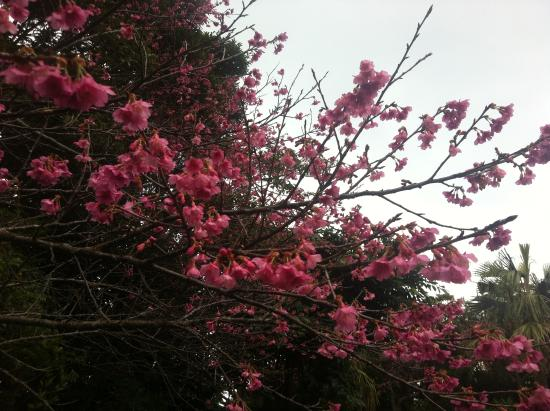Oshima-gun Tatsugo-cho, Japón: 桜が満開~