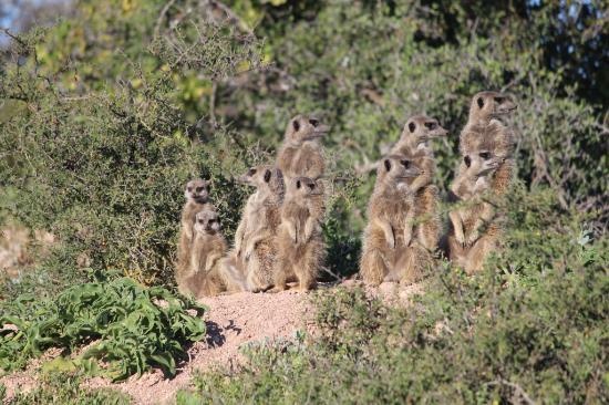 Oudtshoorn, Νότια Αφρική: Meerkat Safari