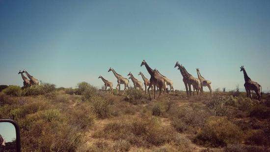 Oudtshoorn, Sudáfrica: Giraffes on a Bush Safari
