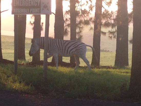 KwaZulu-Natal, Sydafrika: Watching the zebras at sunset
