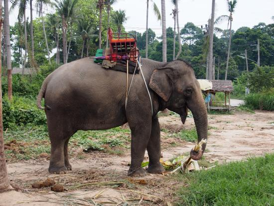 Bophut, Thailand: Harnessed Elephant for riding