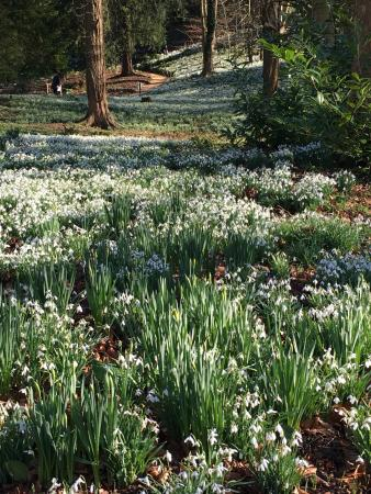 Painswick, UK: Snowdrops in the woods