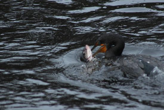 DeLand, FL: cormorant with his lunch
