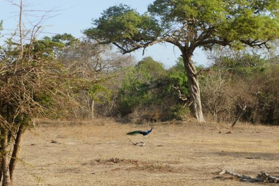 Tissamaharama, Sri Lanka: Yala Park