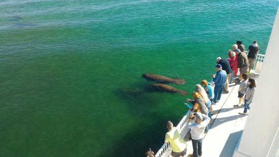 Visitors Spot a Pod of Manatees