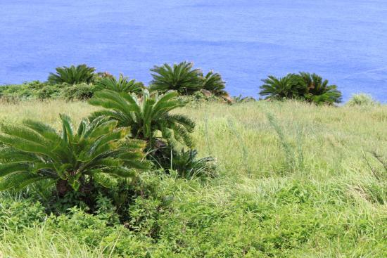 Cape Tamina: ソテツ