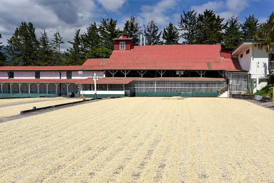 Poas Volcano National Park, Costa Rica: Coffee drying in the sun