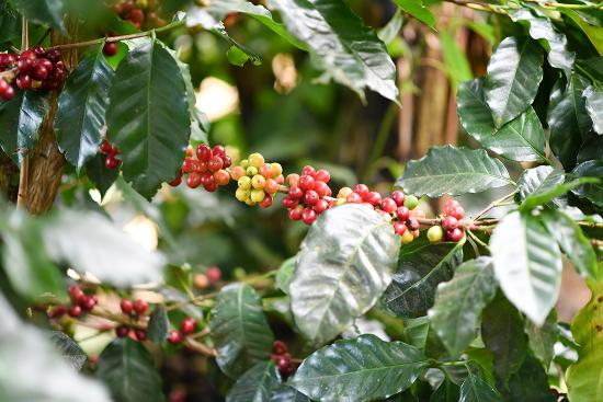 Poas Volcano National Park, Costa Rica: Coffee plant