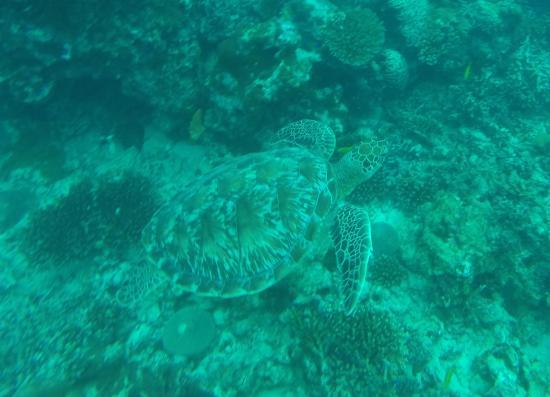 Victoria, Seychelles: Turtle