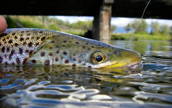 Livingston, MT: Releasing a brown trout on Depuy's spring Creek