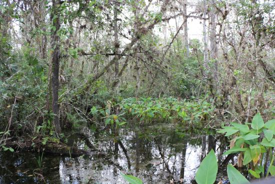 Copeland, FL: View from Big Cypress Bend Boardwalk Trail