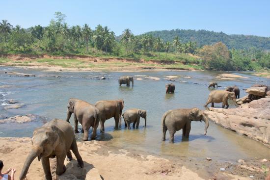Pinnawala, ศรีลังกา: 川で水浴び