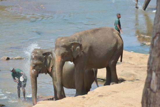 Pinnawala, ศรีลังกา: 象に水をかける