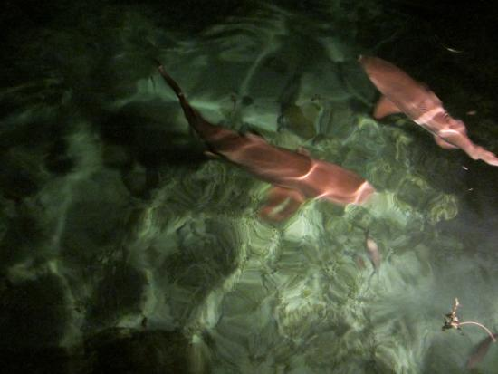 Gizo, Solomoneilanden: Evening entertainment - feeding reef sharks from the Restaurant.