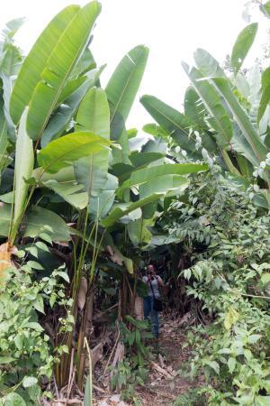 Uxbenka : Side trail through banana plants