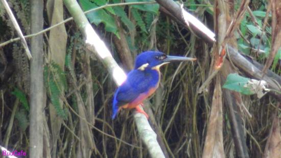 Diwan, أستراليا: Azure Kingfisher