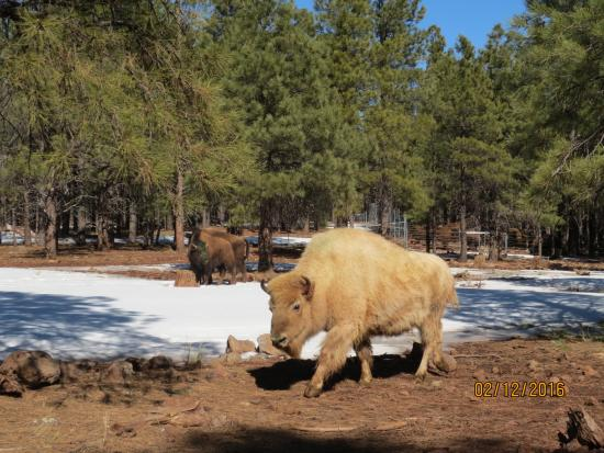 Williams, AZ: White Bison on sunny winter day.