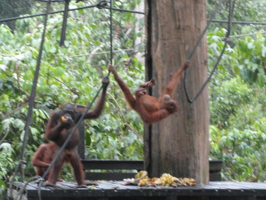 Sepilok, Malaysia: Feeding ...