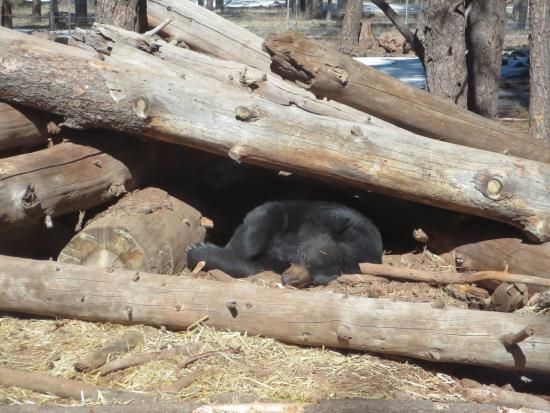 Williams, AZ: Black Bear snoozes on sunny winter afternoon.