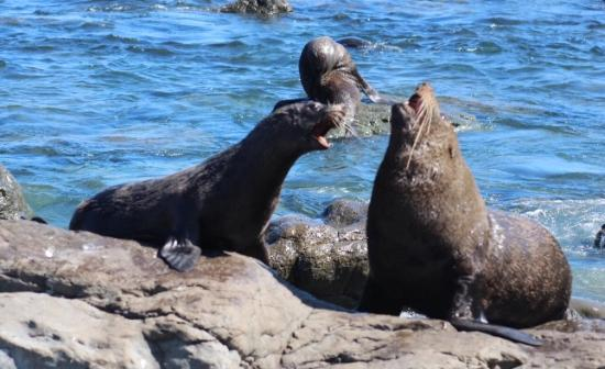 Martinborough, Νέα Ζηλανδία: Seals at Palliser Point