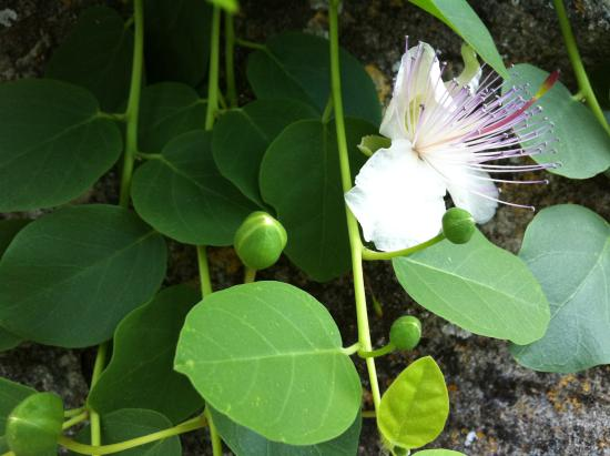 Greytown, New Zealand: Caper flowers and berries