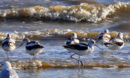 Port Arthur, TX: American Avocets on the beach at Sea Rim State Park, Feb 2016