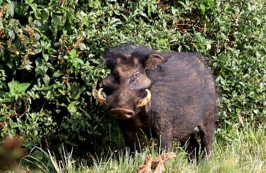 A rarely seen Giant Forest Hog