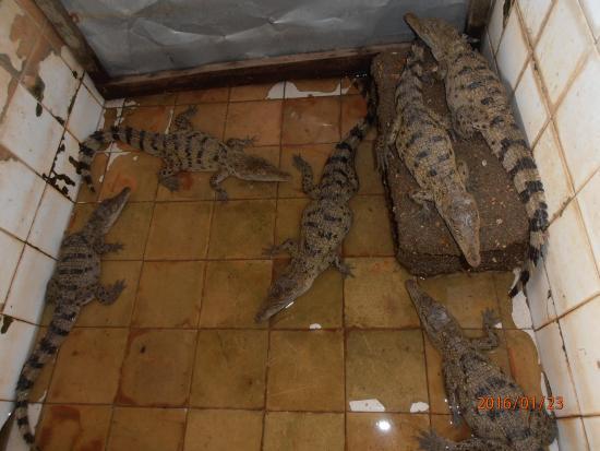 Busuanga Island, ฟิลิปปินส์: calauit safari tour (endemic bred crocodiles)