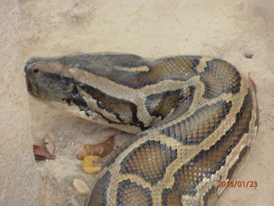 Busuanga Island, ฟิลิปปินส์: calauit safari tour (rescued burmese python)