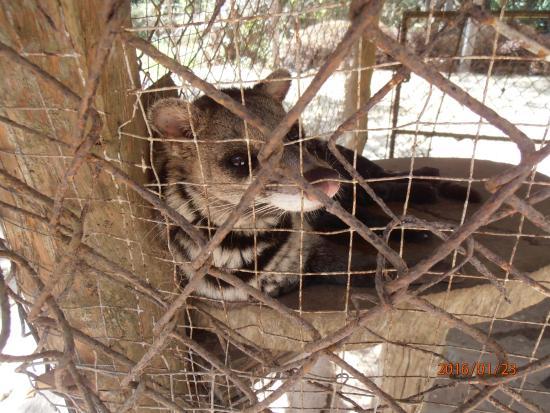 Busuanga Island, ฟิลิปปินส์: calauit safari tour (endemic civet)