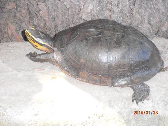 Busuanga Island, ฟิลิปปินส์: calauit safari tour (endemic freshwater turtle)