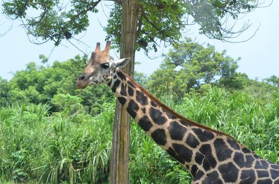giraffe picture of bali safari marine park gianyar tripadvisor rh tripadvisor com au