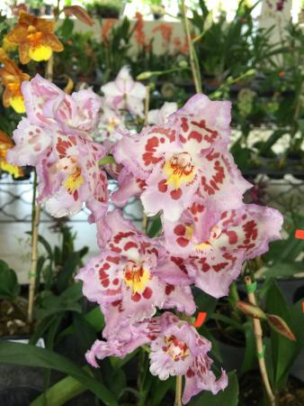 Ecuagenera - Orchids from Ecuador: Ecuagenera - Orquideas del Ecuador