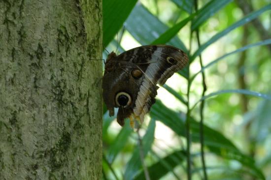 Golfito, Costa Rica: Schmetterling, auf dem Pfad im Urwald gesehen.